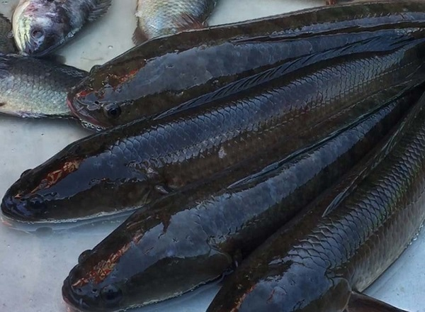 Chiêm bao thấy câu được cá lóc đen vừa có điềm xui rủi lại vừa có tín hiệu tốt