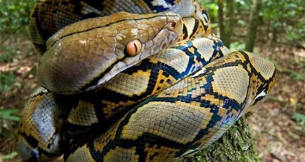 Trong giấc mơ mà rắn khổng lồ đang ngủ hiền lành thì đó là dấu hiệu tốt