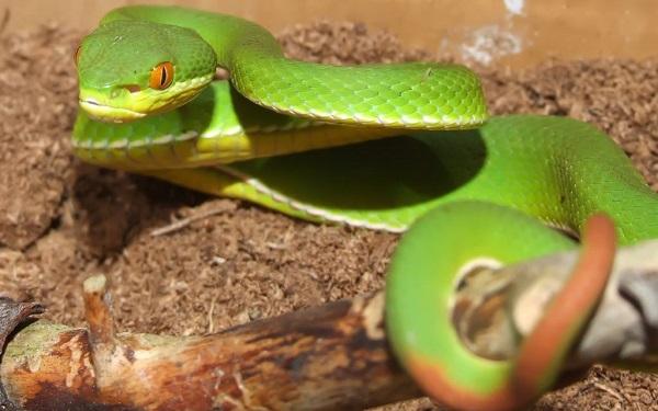 Mơ thấy rắn không phải lúc nào cũng là điềm xấu