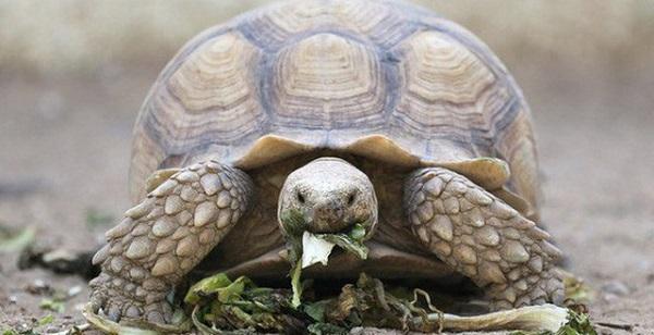 Nhặt được rùa bò vào nhà mang tới nhiều điều may mắn