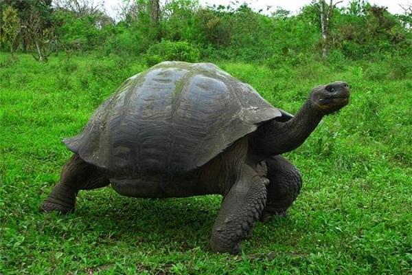Rùa là một loài động vật linh thiêng đối với người Châu Á